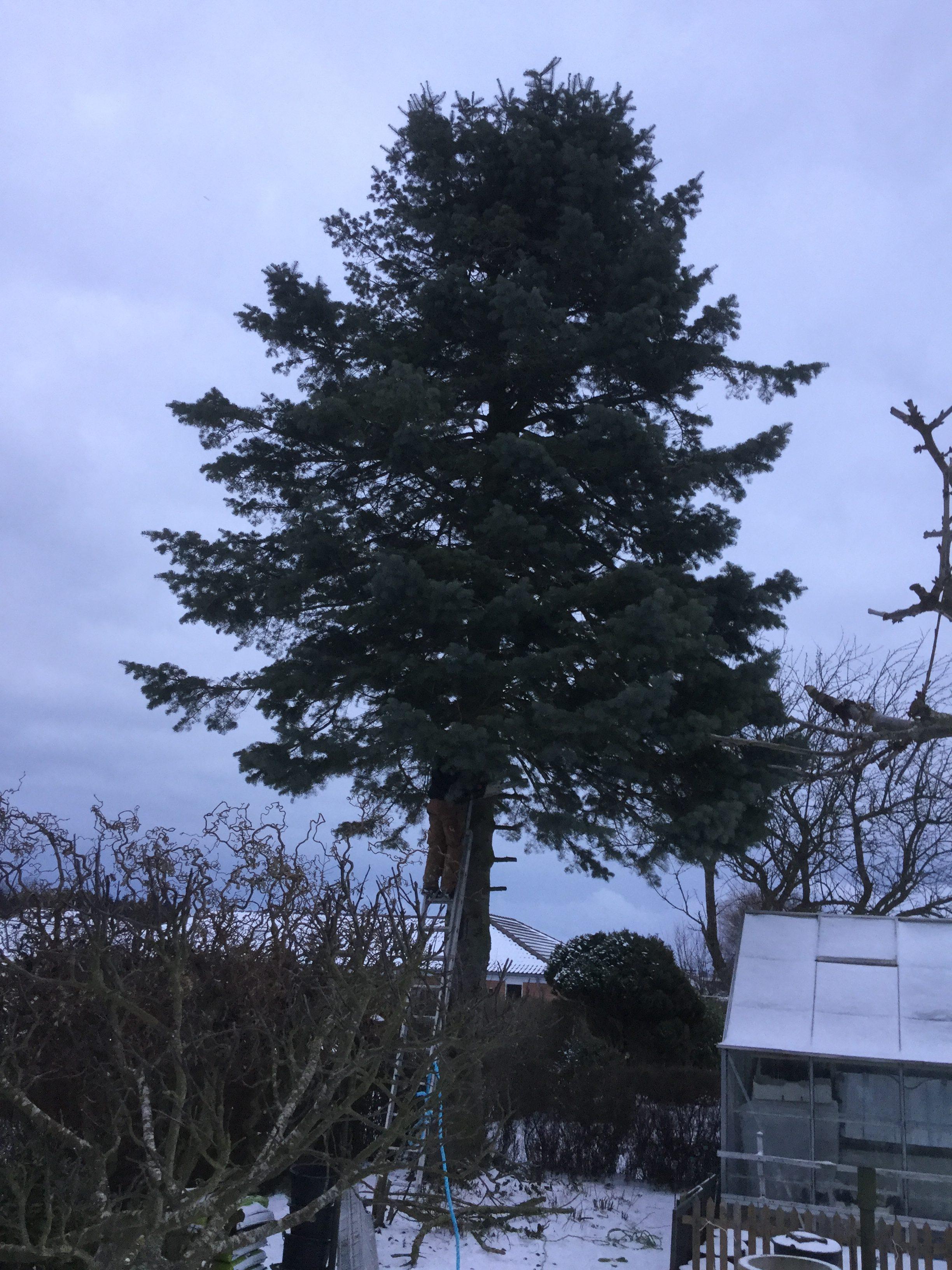 DR Tømrermester – træfældning 6