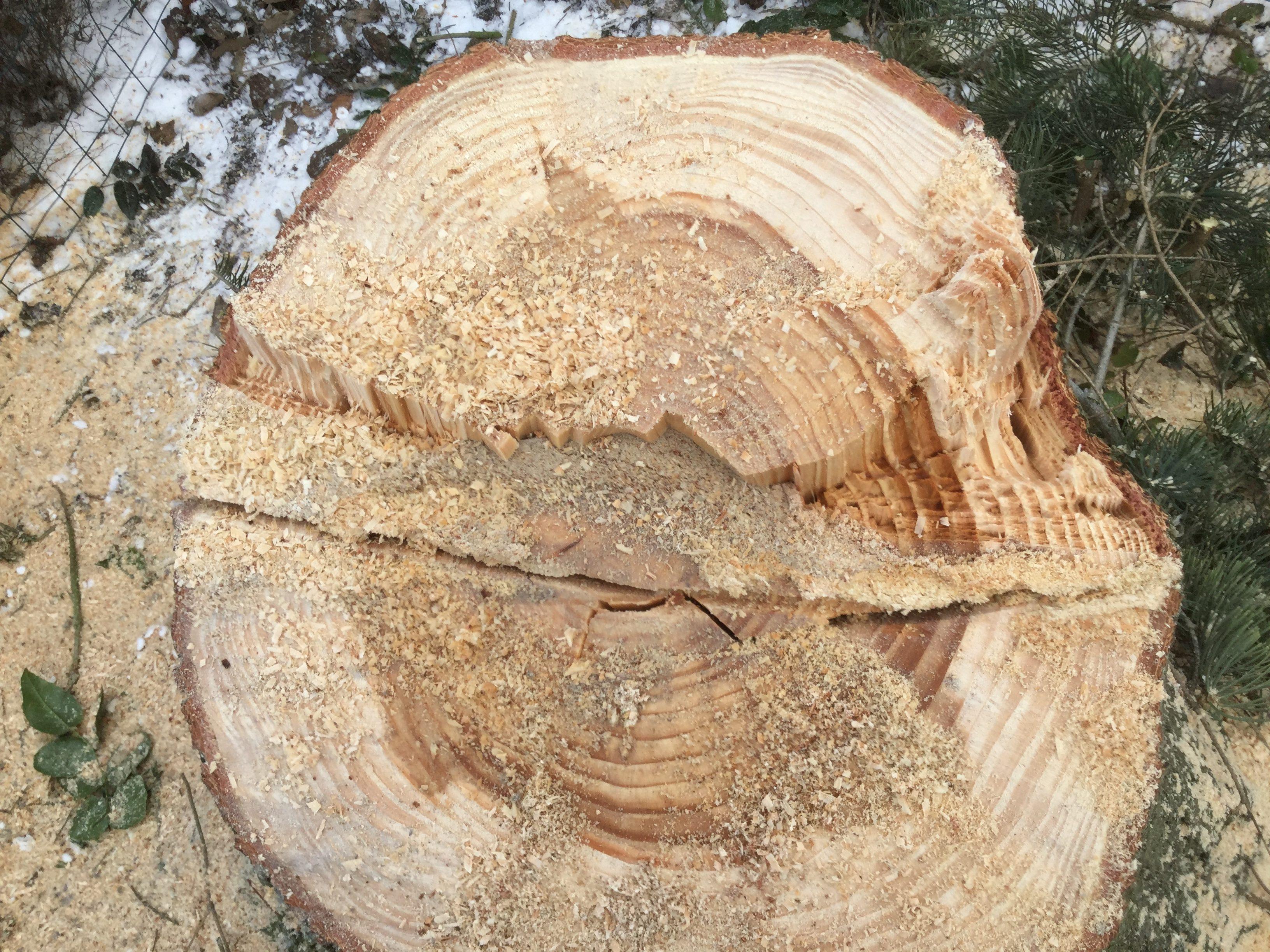 DR Tømrermester – træfældning 8